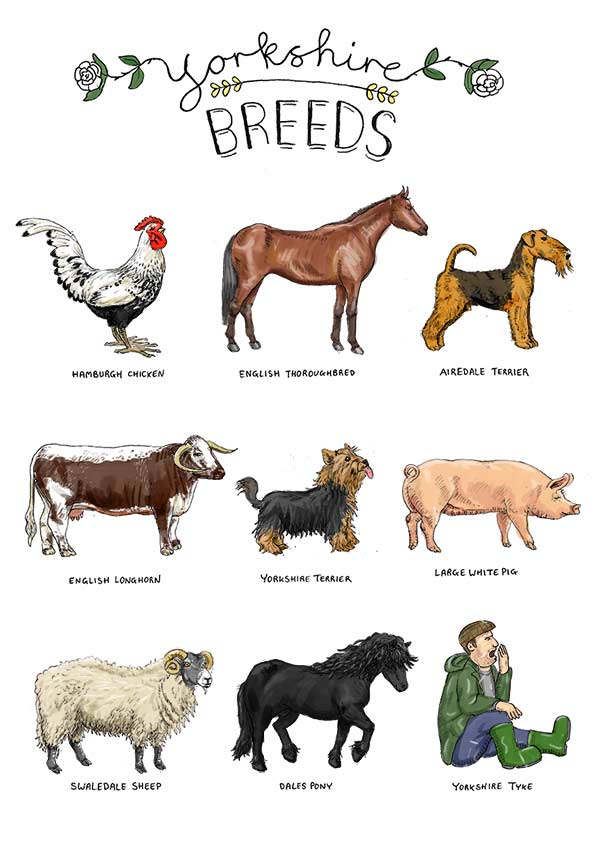 Yorkshire animal breeds | Farm animal illustrations