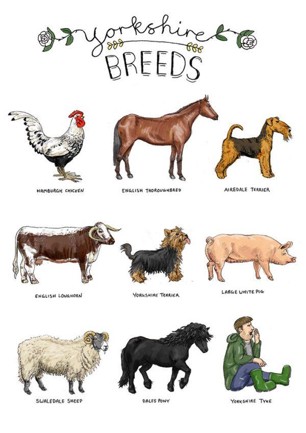 Yorkshire breeds illustration