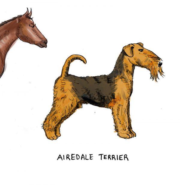 Yorkshire breeds illustration - airedale